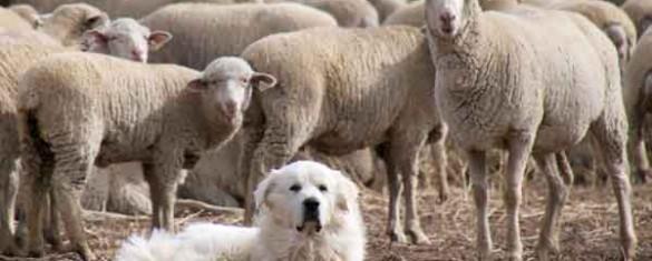 Pecore archivi ti racconto una fiaba - La pagina della colorazione delle pecore smarrite ...