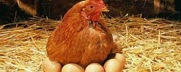 la-gallina-dalle-uova-di-cioccolato