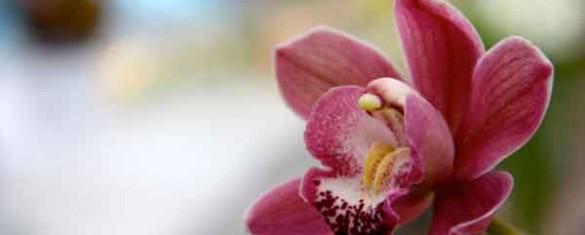 orchidea-fantasma