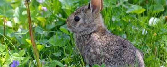 leprotto-orecchie-piccole