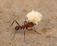 chissa-formica