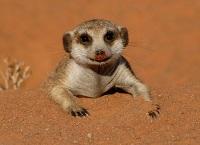 leggenda-grande-suricato