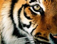 leggenda-tigre-kalkin