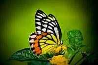 farfalla-cavolfiore-apuleio-audio