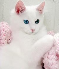 gatto-angora