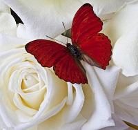 filinta-farfalla