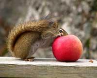 mela-scoiattolo-robin